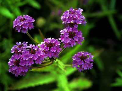 Verbena rigida - medium image 1