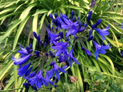 Agapanthus short dark blue Headbourne hybrids - medium image 2