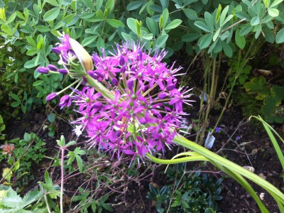 Allium wallichii - medium image 2