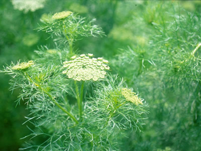 Ammi visnaga - medium image 2