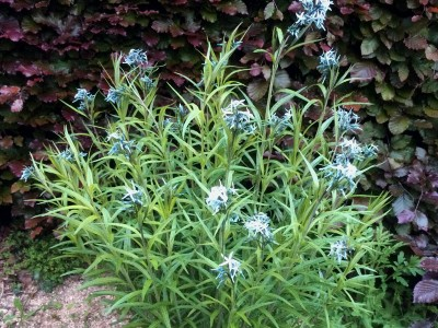 Amsonia sp. - medium image 2
