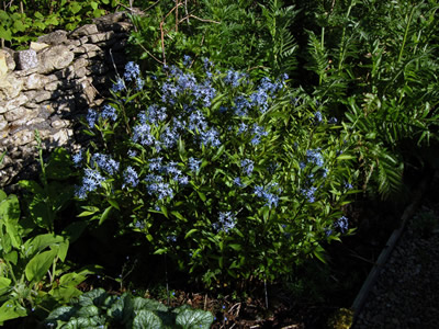 Amsonia tabernaemontana - medium image 2