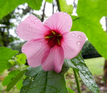 Anisodontea julii - medium image 2