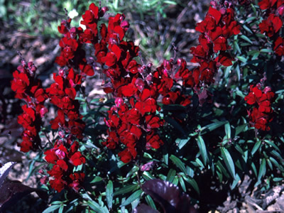 Antirrhinum 'Black Prince' - medium image 2