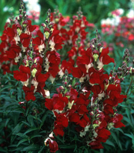 Antirrhinum 'Night & Day' - medium image 2