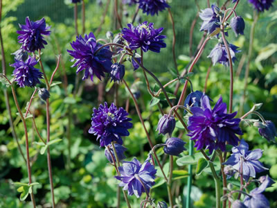 Aquilegia 'Blue Barlow' - medium image 2