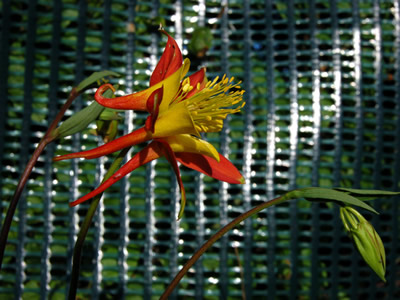 Aquilegia 'Tequila Sunrise' - medium image 2