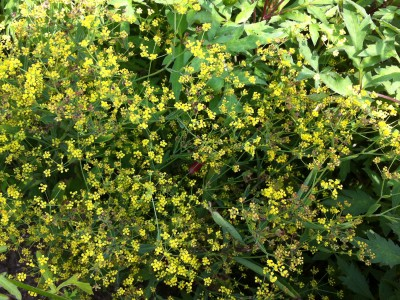 Bupleurum falcatum short form - medium image 2