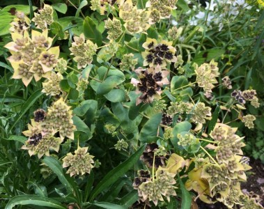 Bupleurum griffithii - medium image 2