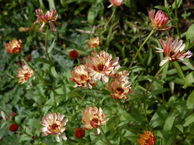 Calendula 'Bronze Beauty' - medium image 2