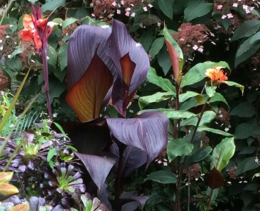 Canna 'Tropicanna Black' - medium image 2