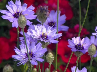 Catananche caerulea - medium image 2