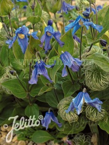 Clematis integrifolia 'Blue Ribbons' - medium image 2