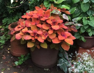 Coleus 'Orange and Purple' - medium image 2