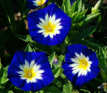 Convolvulus tricolor 'Blue Ensign' AGM - medium image 2