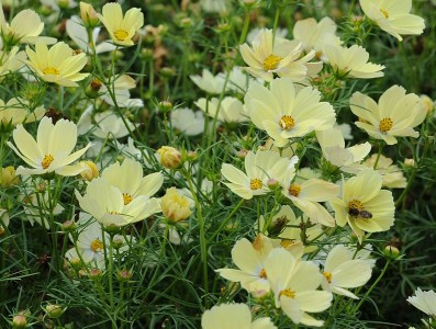 Cosmos bipinnatus 'Lemonade' - medium image 2