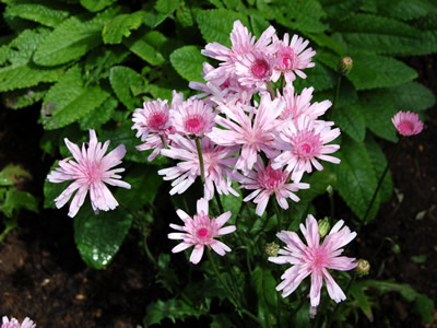 Crepis rubra - medium image 2