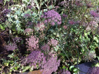 Daucus carota 'Black Knight' - medium image 2