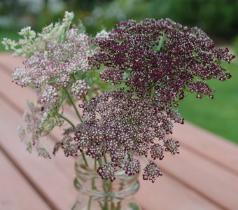 Daucus carota 'Purple Kisses' - medium image 2