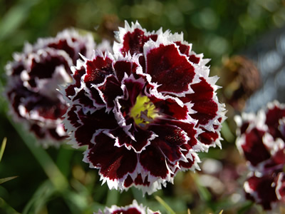 Dianthus chinensis 'Black and White' - medium image 2