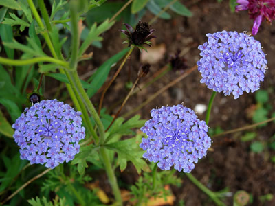 Didiscus coerulea 'Blue Lace' - medium image 2