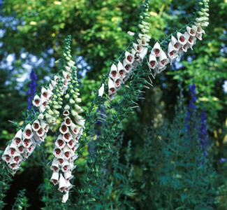 Digitalis purpurea 'Pam's Choice' - medium image 2