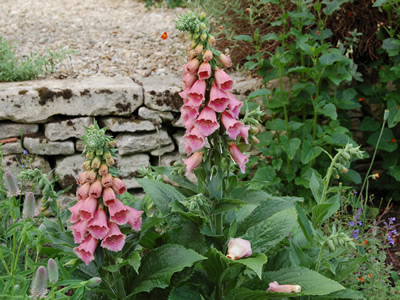 Digitalis x mertonensis - medium image 2