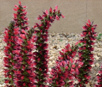 Echium amoenum 'Red Feathers' - medium image 2