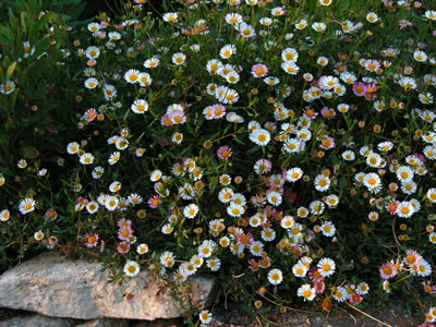 Erigeron karvinskianus - medium image 2
