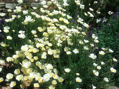 Eschscholzia californica 'Alba' - medium image 2