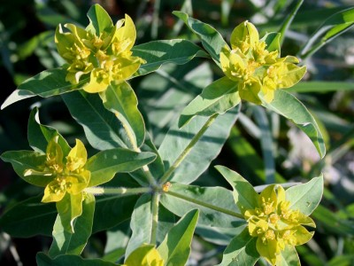 Euphorbia oblongata - medium image 2