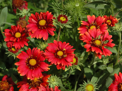 Gaillardia 'Burgundy' - medium image 2