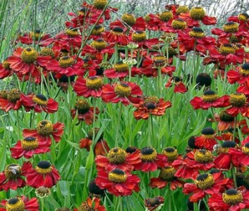 Helenium autumnale 'Helena Red Shades' - medium image 2