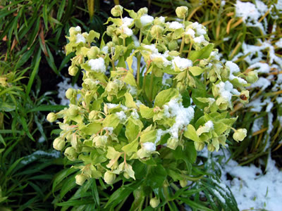 Helleborus foetidus 'Gold Bullion' - medium image 2