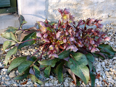 Helleborus x sternii Pewter form - medium image 2