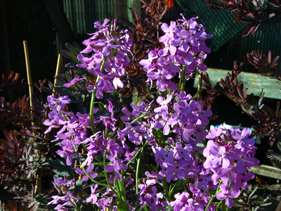 Hesperis matronalis - medium image 2