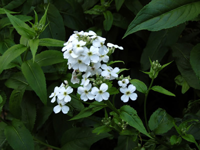 Hesperis matronalis 'Alba' - medium image 2