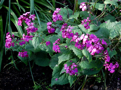 Lunaria annua 'Munstead Purple' - medium image 2