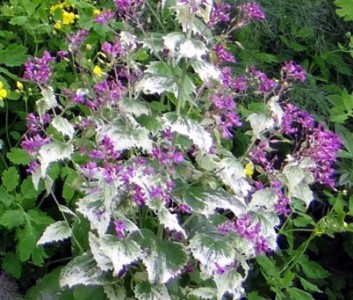 Lunaria annua 'Variegata' purple flowered - medium image 2