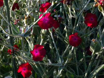 Lychnis coronaria 'Blood Red' - medium image 2