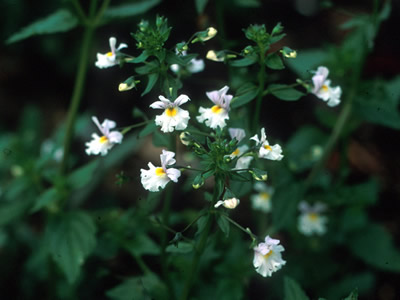 Nemesia sylvatica - medium image 2