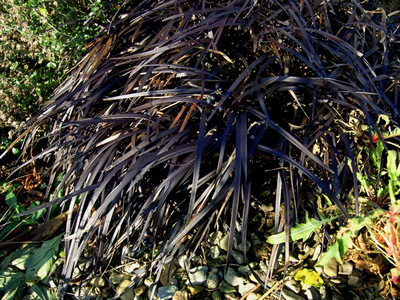 Ophiopogon planiscapus 'Nigrescens' - medium image 2