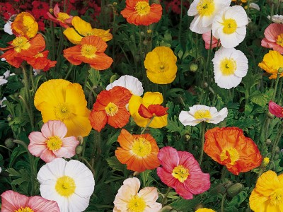 Papaver nudicaule Deluxe Mix - medium image 2