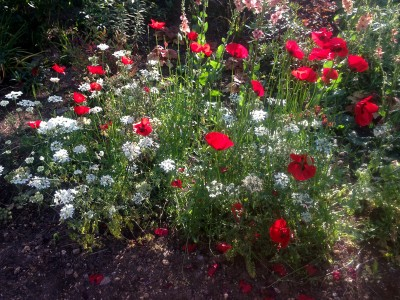 Papaver 'Paradise' - medium image 2
