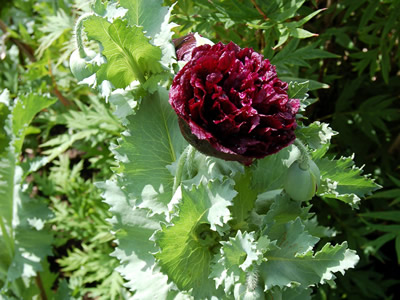 Papaver somniferum 'Black Beauty' - medium image 2