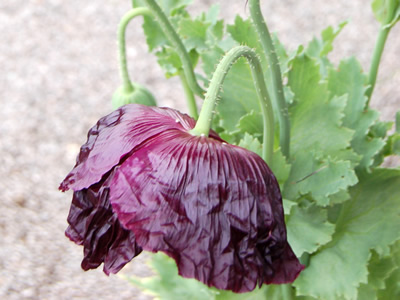 Papaver somniferum 'Laurens Grape' - medium image 2