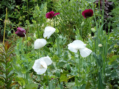Papaver somniferum single white - medium image 2