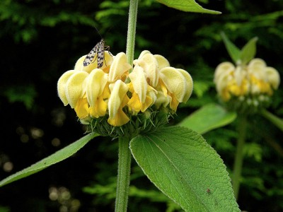 Phlomis russeliana - medium image 2
