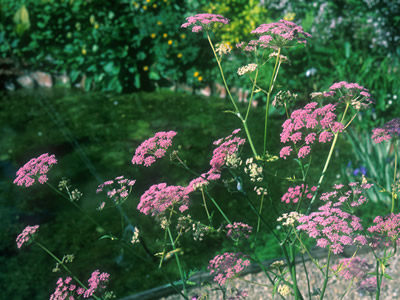 Pimpinella major 'Rosea' - medium image 2