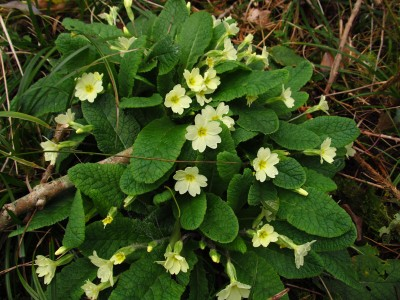 Primula vulgaris - medium image 2